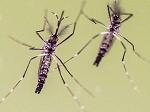 mosquito aedes sano  y mosquito aedes  infestado con wolbachia