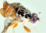 insectos estériles