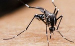 aedes 2