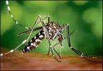 mosquito tigre (1)