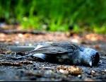 Aves migratorias han muerto del cólera aviar