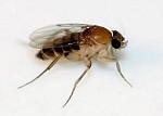 mosca jorobada