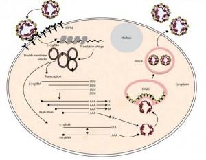MERS-CoV: estrategia de replicación