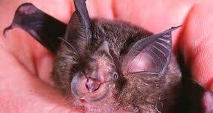 Murciélago de herradura de China