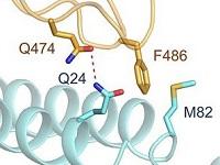 union de proteina de espiga viral y ACE2